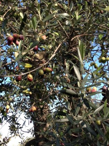 De olijven...