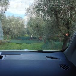 olijfbomen, olijven, Caroli