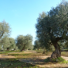 Olijven, olijfboom