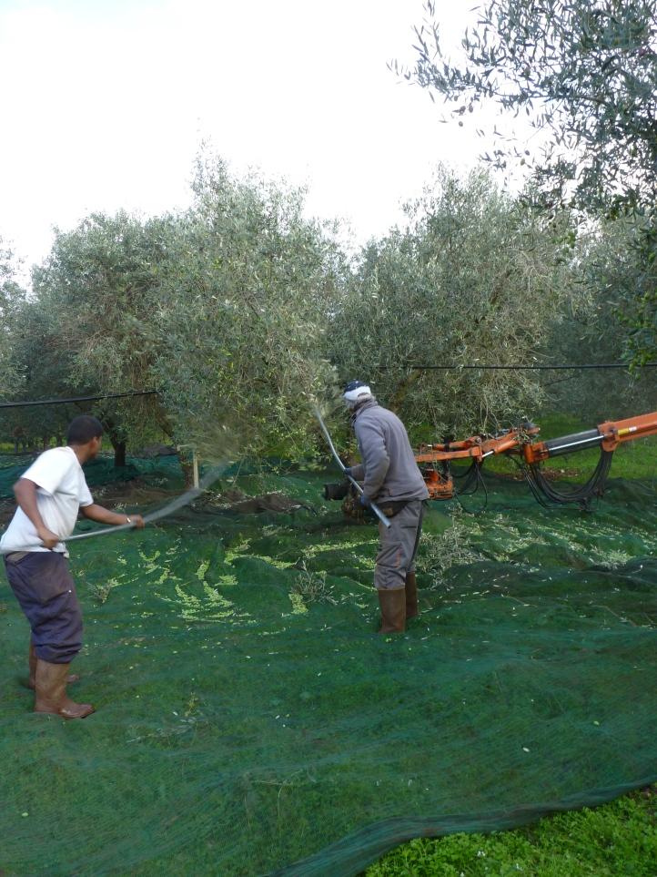 Tegelijkertijd slaan twee mannen met stokken ook de olijven uit de boom