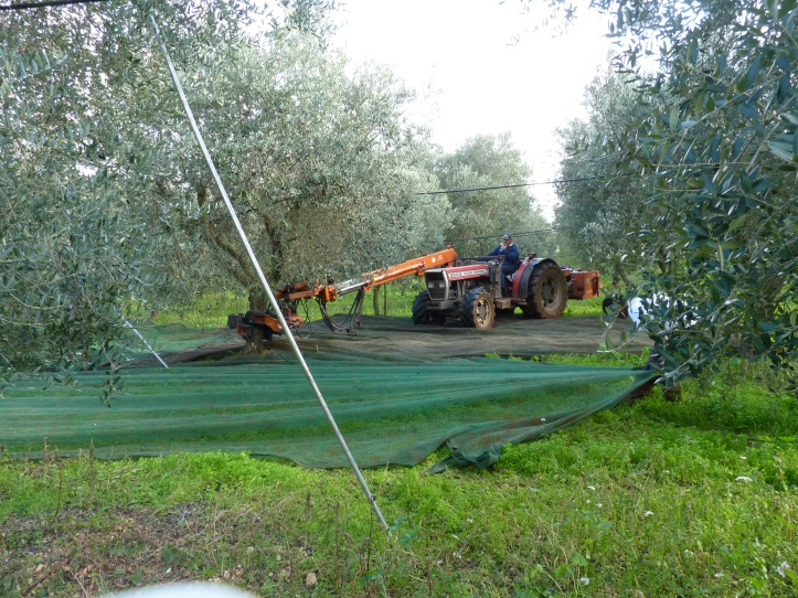 De 'hand' van de machine    houdt de onderkant van de stam vast en trilt zo de olijven uit de boom