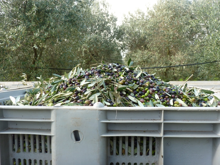 De olijven worden in grote dagen gedaan...