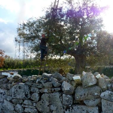 olijven, olijfboom, olijvenpluk