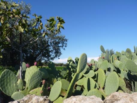 cactusvijgen